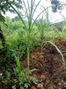 Rumput Gajah03