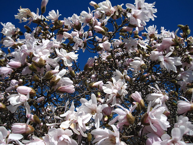 Magnolia stellata in full bloom in BBG's Magnolia Plaza. Photo by Rebecca Bullene.