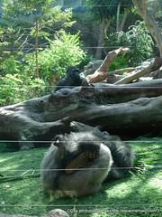 Gorilas en el Loro Parque