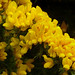 Gorse - Photo (c) James Gaither, some rights reserved (CC BY-NC-ND)