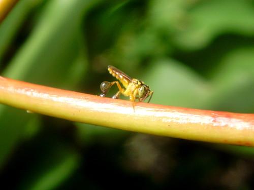 13- Abelha Jataí coletando resina no pedúnculo da flor Coroa-de-Cristo. Note que em sua pata trazeira  já tem um boa porção. Tamanho médio da abelha 5.5 mm. 04-03-10