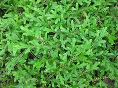 shrub(0.0), flower(0.0), cicely(0.0), ostrich fern(0.0), ferns and horsetails(0.0), annual plant(1.0), vascular plant(1.0), leaf(1.0), plant(1.0), herb(1.0),