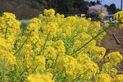 food(0.0), canola(1.0), shrub(1.0), vegetable(1.0), flower(1.0), field(1.0), yellow(1.0), mustard plant(1.0), brassica rapa(1.0), plant(1.0), mustard(1.0), produce(1.0), rapeseed(1.0),
