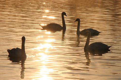 england thames sunrise swans marlow flickrdiamond blinkagain bestofblinkwinners