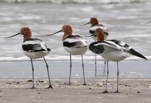 bird birds texas americana americanavocet avocet fåglar recurvirostraamericana recurvirostra bolivarflats