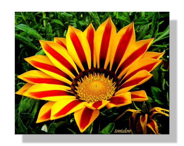 Un Sol de Flor