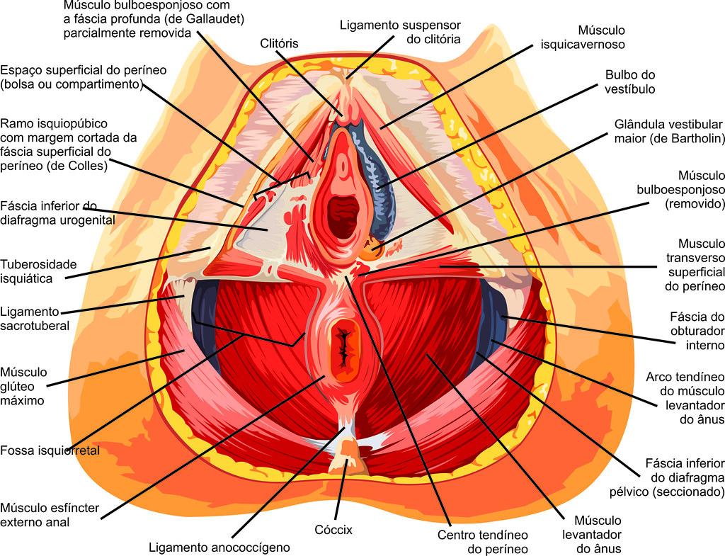 Moderno La Anatomía Vigina Imagen - Imágenes de Anatomía Humana ...