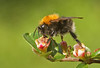 Tree Bumblebee - Photo (c) Rachel, some rights reserved (CC BY-NC-ND)