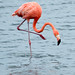 American Flamingo - Photo (c) Paul Asman and Jill Lenoble, some rights reserved (CC BY)