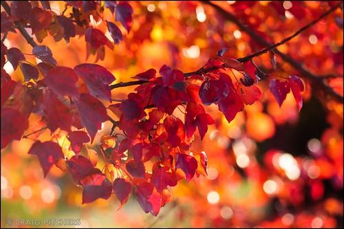 autumn red leaves southafrica rouge nikon bokeh sigma flare kwazulunatal splendor macrolens sigma105mmmacro d90 drakensburg nikond90