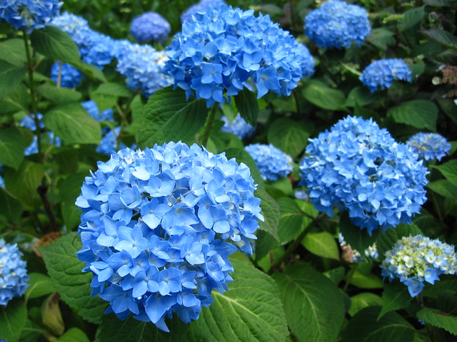 Beautiful blue Hydrangea 'Endless Summer' blooms in the Plant Family Collection. Photo by Rebecca Bullene.