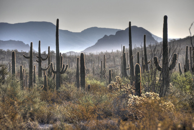 Saguaros in the early morning at Organ Pipe Cactus National Monument Arizona