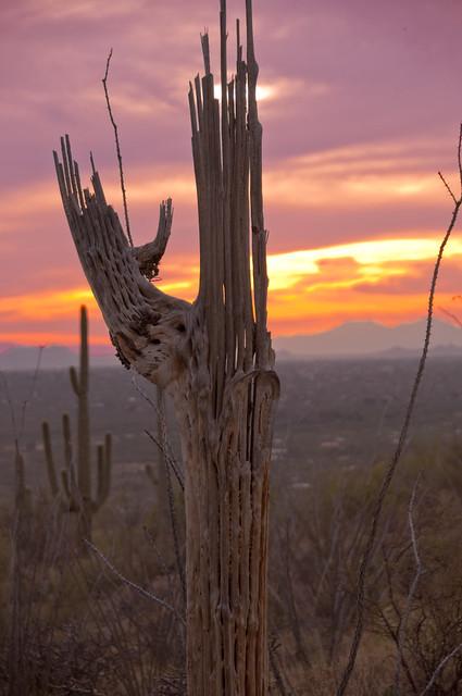 how to clean saguaro skeleton
