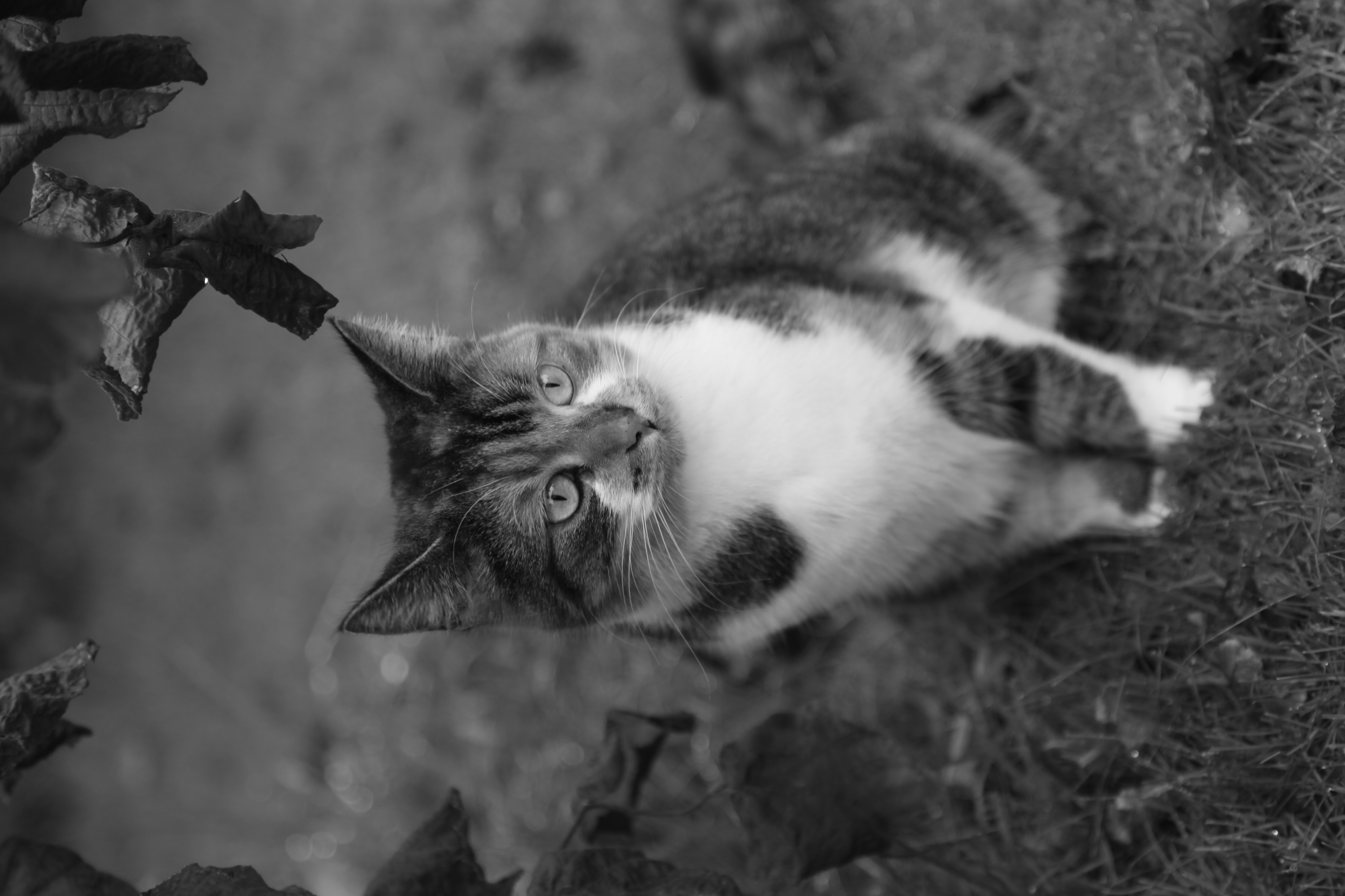 Gizmo, the second cat of the house... | Flickr - Photo ...