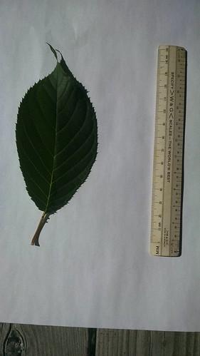 Prunus sargentii leaf