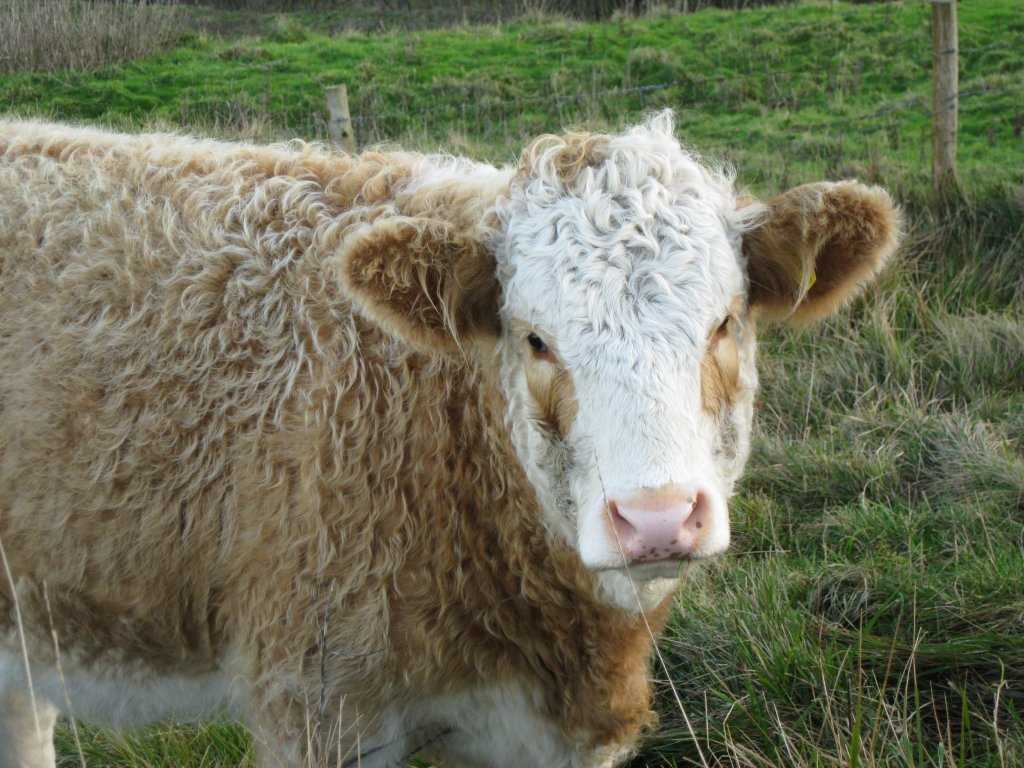 South Downs Cow