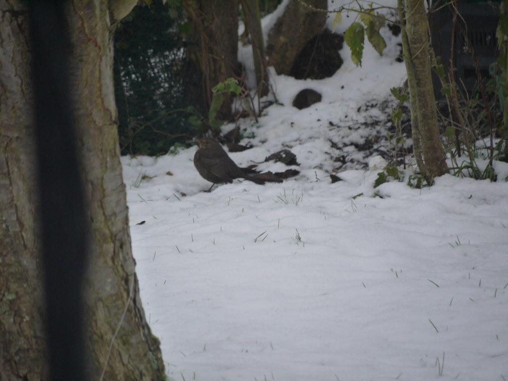 related image - P1230374 - Merle dans la neige