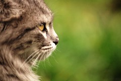 animal, big cats, small to medium-sized cats, mammal, lynx, fauna, close-up, wild cat, whiskers, bobcat, wildlife,