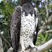 Martial Eagle, Polemaetus bellicosus, Breëkoparend by Peet van Schalkwyk