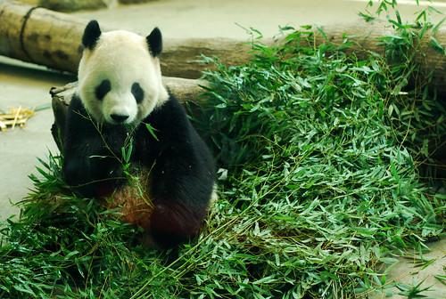熊貓圓圓,圖片來自chia ying Yang