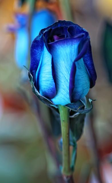 Las rosas azules existen !!!