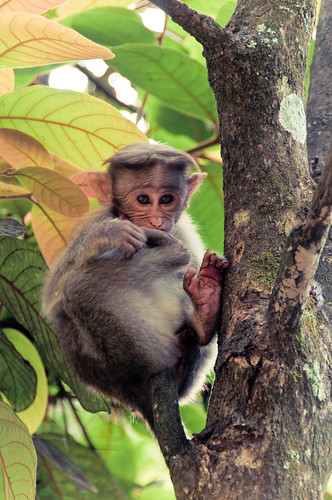 travel india tree cute green nature animal digital forest geotagged grey monkey eyes nikon asia outdoor gray frombelow kerala bark wayanad rhesusmonkey lightroom d300 viveza christiansenger:year=2010