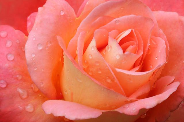 Rose Macro / Rose_Macro  / (close up) - IMG_8038-1000