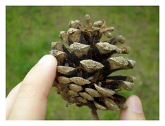 flower, pine, plant, flora, conifer cone,