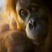orangutan 1200 by WyLuxx