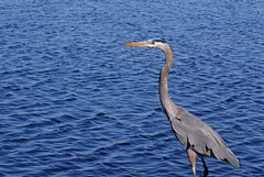 animal, wing, fauna, heron, pelecaniformes, beak, bird, egret,
