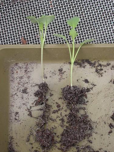 broccoli planting фото