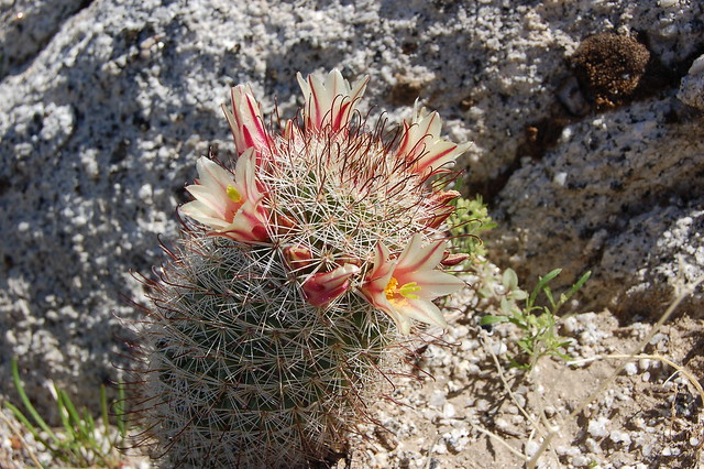 Fish hook cactus flickr photo sharing for Fish hook cactus