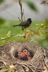 sparrow(0.0), blackbird(0.0), nest(1.0), animal(1.0), branch(1.0), bird nest(1.0), fauna(1.0), finch(1.0), old world flycatcher(1.0), emberizidae(1.0), beak(1.0), bird(1.0), wildlife(1.0),