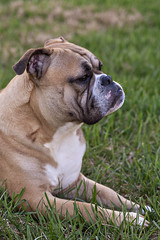 dog breed, animal, dog, british bulldogs, pet, olde english bulldogge, australian bulldog, toy bulldog, american bulldog, carnivoran, bulldog, bullmastiff,