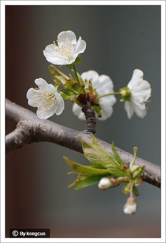 【图】樱花2