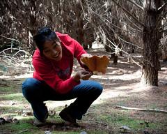 harvesting a saffron milkcap