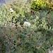 Small photo of Abelia 'Confetti'