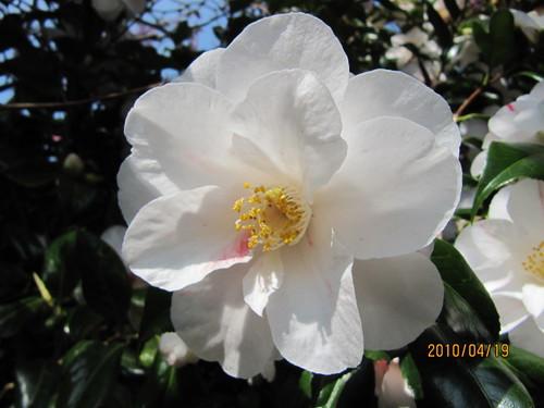 Camellia japonica 'Lady Vansittart' per Leonora (Ellie) Enking a Flickr