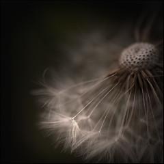 dandelionstan