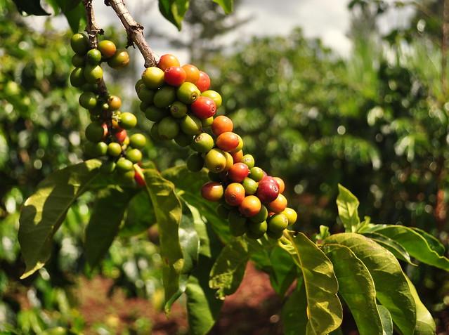 coffee farm in Kenya