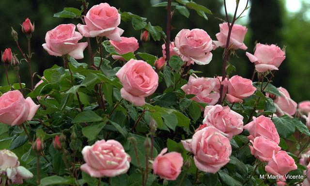 Jardines de aranjuez patos rosas y otras flores flickr - Jardines con rosas ...