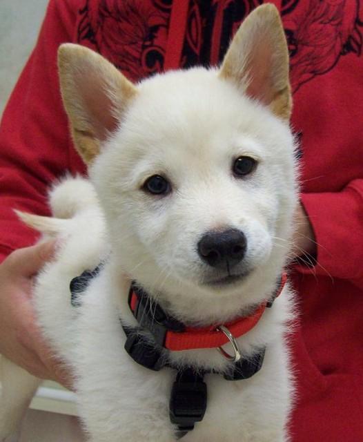 Shiba Inu puppy says hello! | Flickr - Photo Sharing!