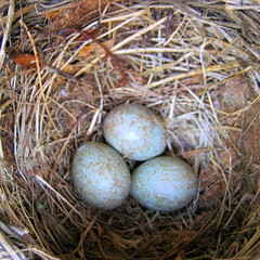 nest, bird nest, fauna, egg,