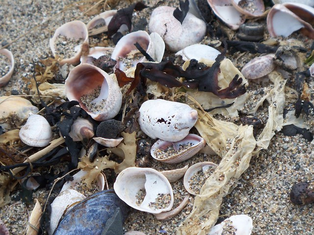 seashells washed ashore