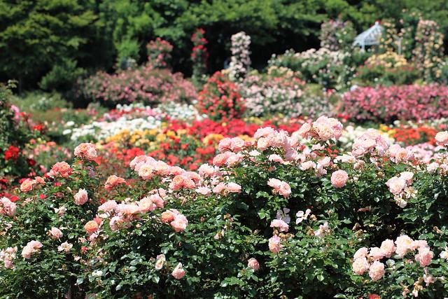 Rose Garden / 薔薇園(ばらえん)