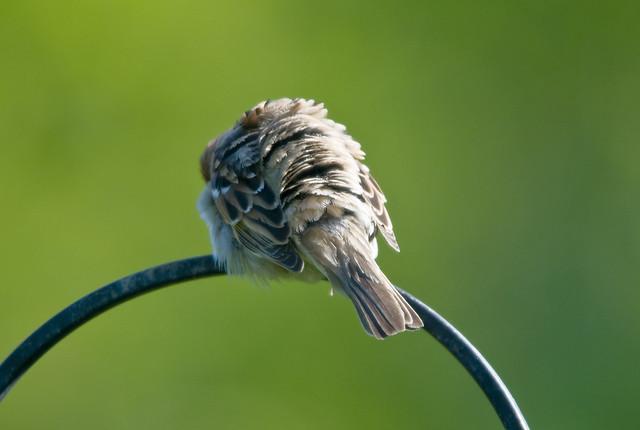 Tree Sparrow (Passer montanus) Preening at RSPB Bempton Cliffs