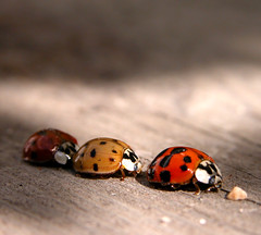Ladybugs, unknown