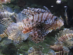coral reef fish(0.0), stony coral(0.0), sea anemone(0.0), coral reef(1.0), animal(1.0), coral(1.0), fish(1.0), fish(1.0), organism(1.0), marine biology(1.0), fauna(1.0), lionfish(1.0), scorpionfish(1.0), underwater(1.0), reef(1.0),