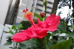 Hibiscus ~ b