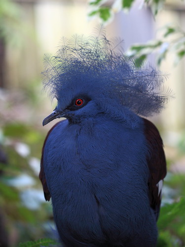 Western Crowned Pigeon / Goura cristata / 冠鳩(カンムリバト)